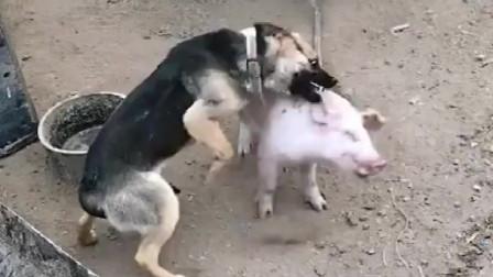 萌宠:狗狗欺负善良的小猪,然而小猪的反击非常完美!