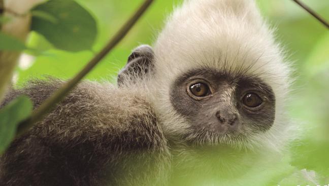 【地球:神奇的一天】中国隐秘神奇动物 白头叶猴特辑