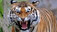 野老虎袭击人的画面,有点不相信武松能对付了