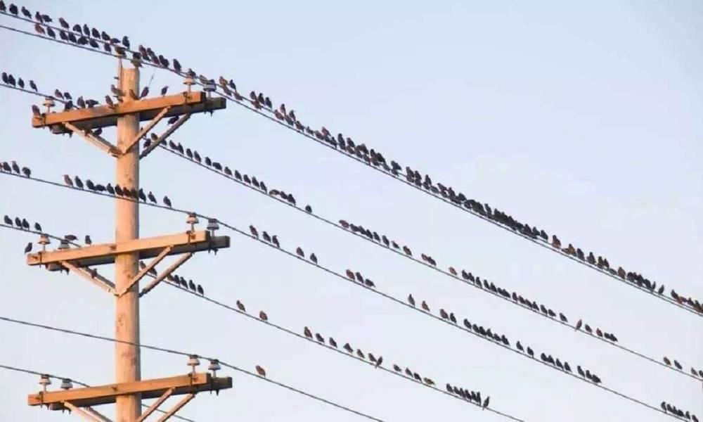 一群迁徙的鸟儿停留在电线上,集体起飞时发生了意外