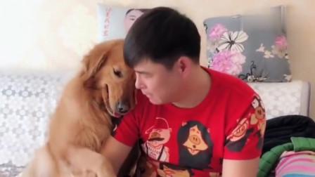主人假装要把金毛卖去狗肉馆,金毛的反应太搞笑了!