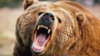 实拍棕熊捕杀野猪