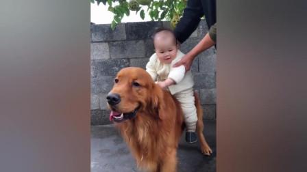 小宝宝骑在金毛身上,金毛任劳任怨当牛做马!
