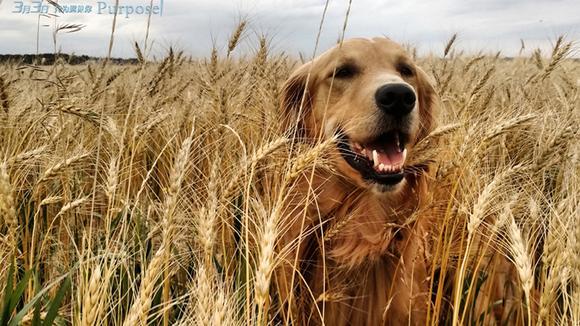在电影里嚎啕大哭 几分钟让你爱上汪星人的《一条狗的使命》